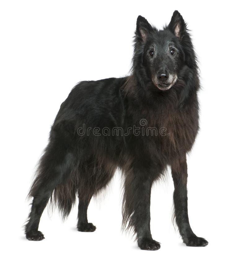 De hond van Groenland, 14 jaar oud, status royalty-vrije stock foto