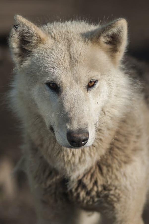 De Hond van Groenland in Sismiut stock foto
