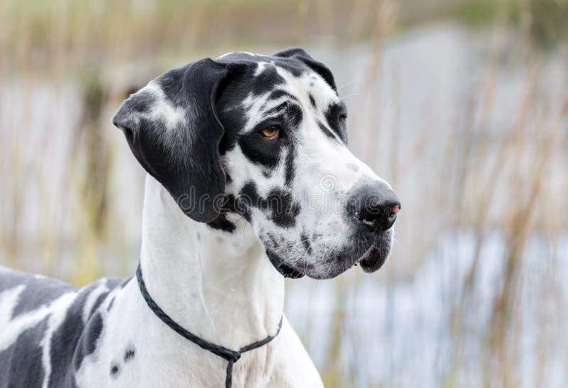 De hond van harlekijngreat dane stock afbeeldingen