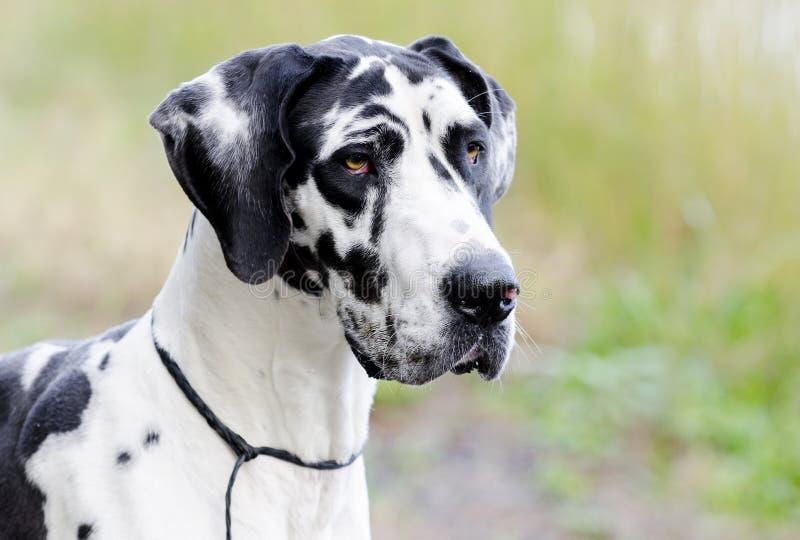 De hond van harlekijngreat dane royalty-vrije stock afbeeldingen