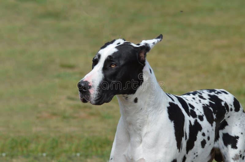 De hond van harlekijngreat dane stock fotografie
