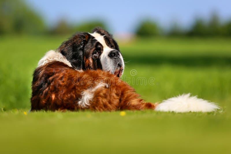 De hond van heilige bernard stock afbeeldingen