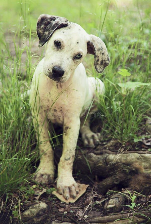 De hond van het de luipaardpuppy van Catahoula stock afbeelding