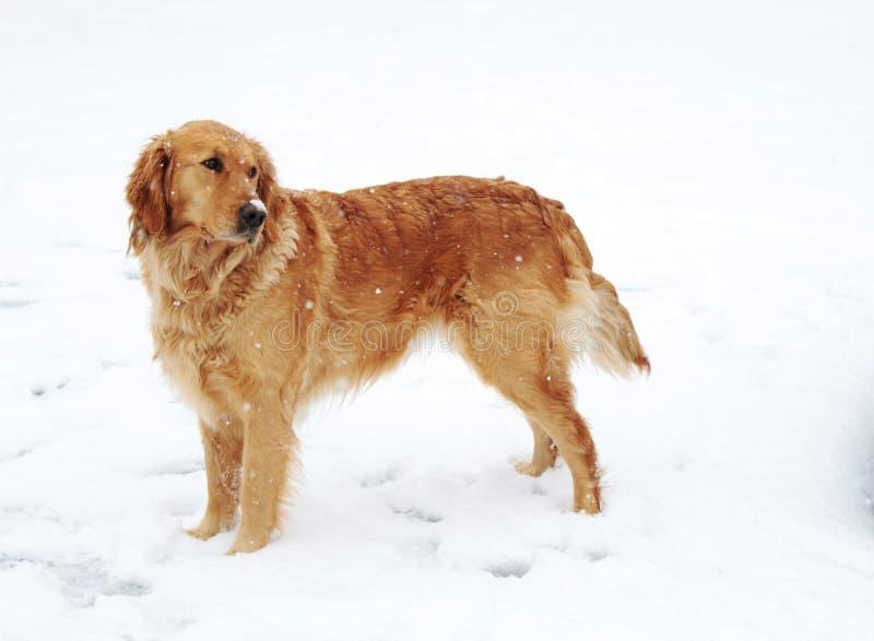 De Hond van het golden retriever in Sneeuw stock afbeeldingen