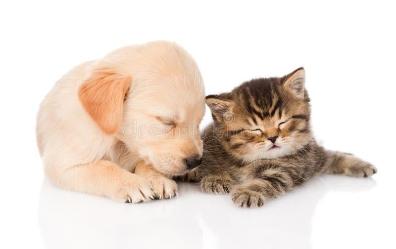 De hond van het golden retrieverpuppy en Britse kattenslaap samen Geïsoleerde royalty-vrije stock foto's