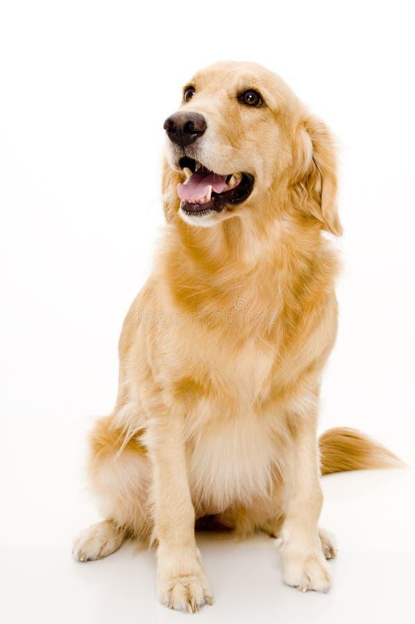 De Hond van het huisdier royalty-vrije stock fotografie