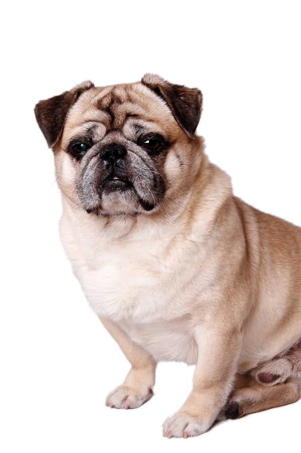 De hond van het huisdier stock foto