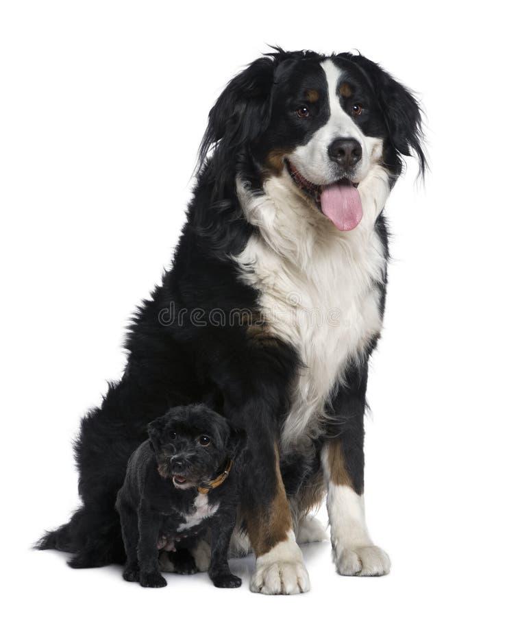 De hond van het mengen-ras, 11 jaar oud, met kleine hond royalty-vrije stock foto