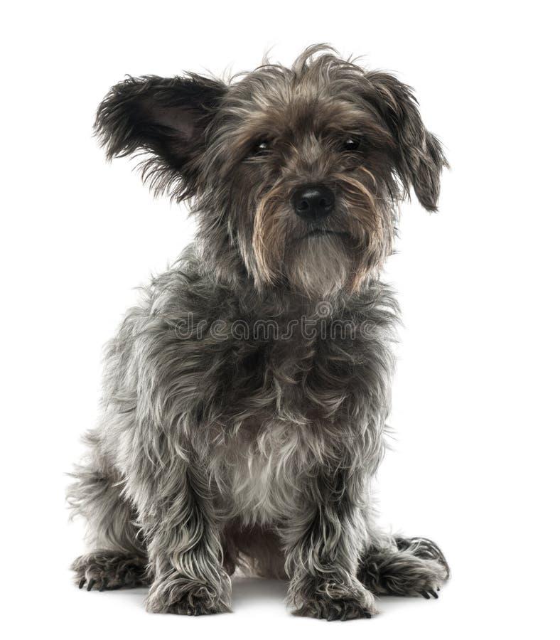 De hond van het mengen-ras, 3 jaar oud, het zitten royalty-vrije stock foto