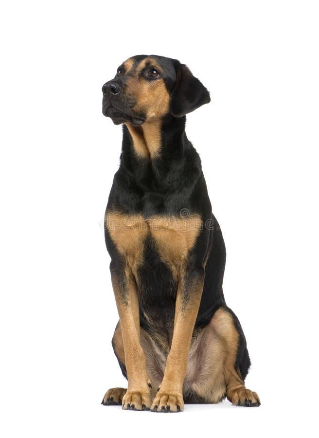 De Hond van het mengen-ras met een beauceron (6 jaar) stock fotografie