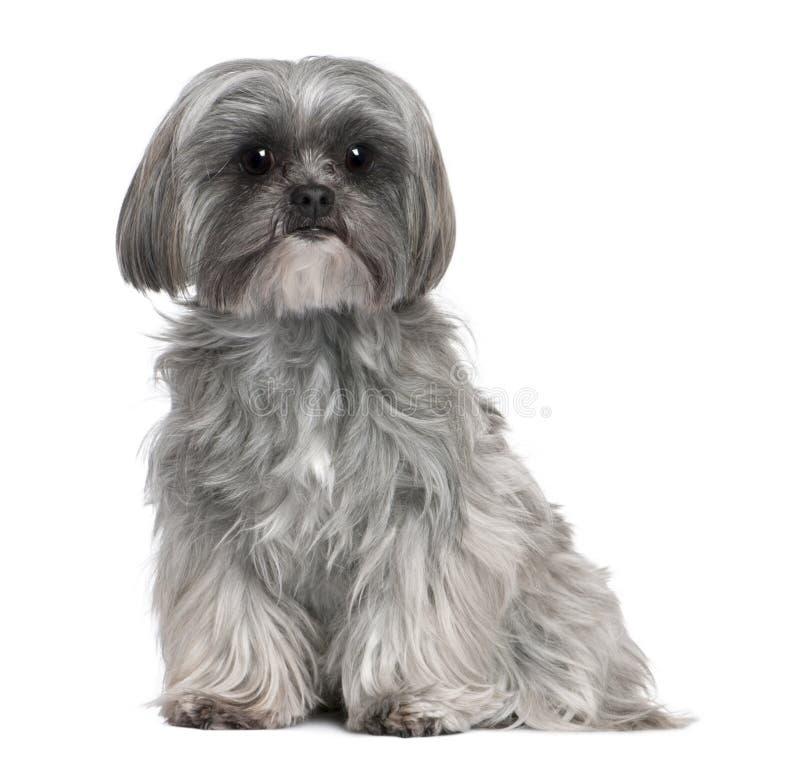 De Hond van het mengen-ras met een Maltese hond royalty-vrije stock foto's