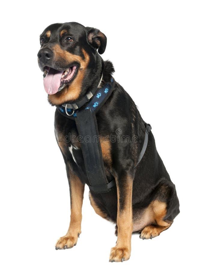 De Hond van het mengen-ras tussen een Sh Doberman en een Duitser stock afbeeldingen