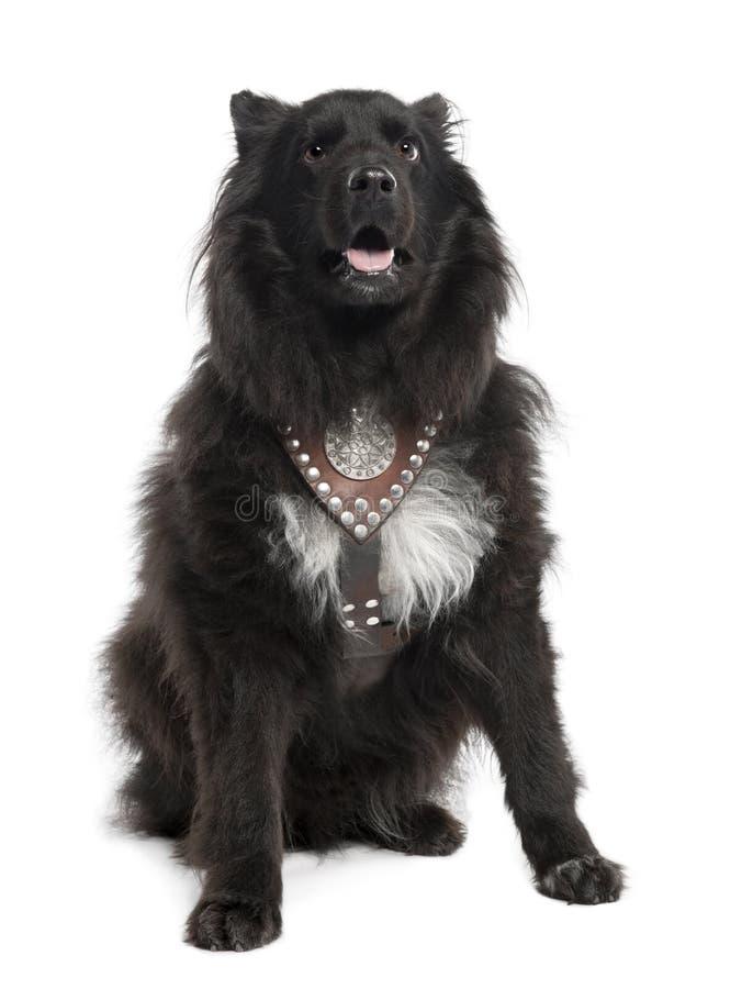 De Hond van het mengen-ras tussen keeshond en een sheltie (6 royalty-vrije stock foto's