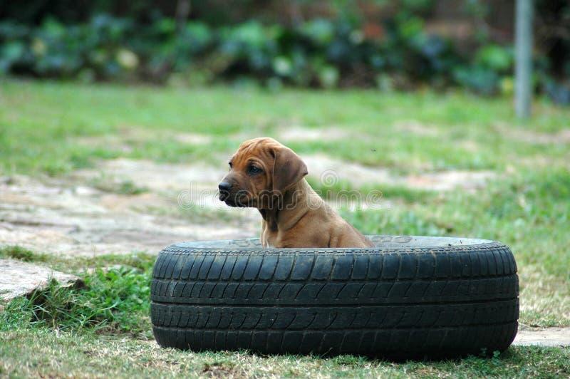 De hond van het puppy royalty-vrije stock fotografie