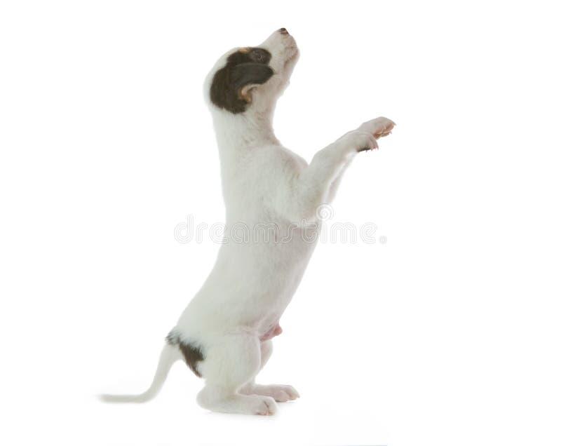 De hond van het puppy stock foto