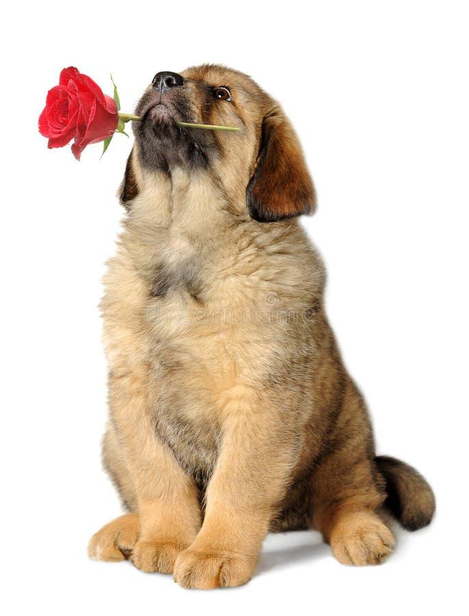 De hond van het puppy met bloem royalty-vrije stock foto's