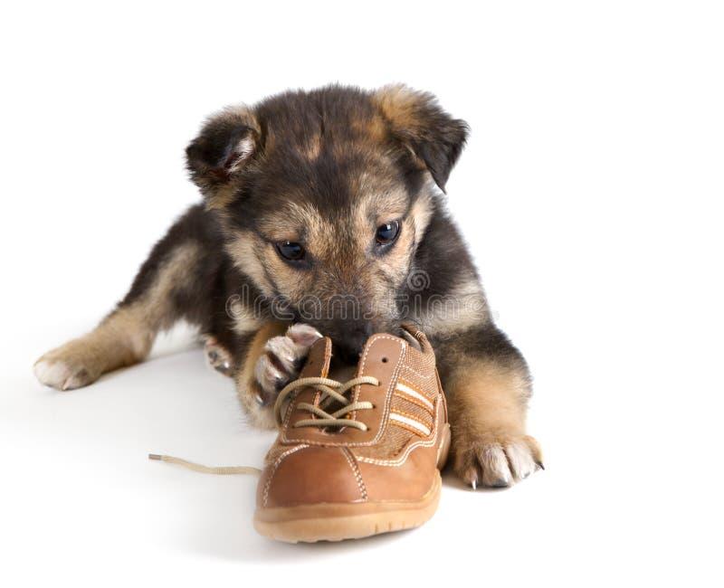 De hond van het puppy met schoenen royalty-vrije stock foto's