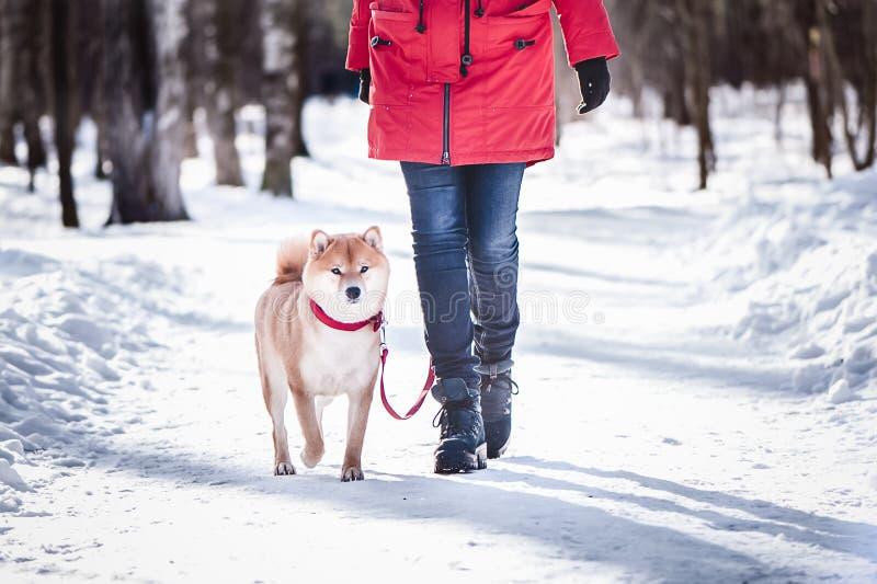 De hond van het Shiba-inuras loopt op een leiband met de eigenaar op Th stock afbeeldingen