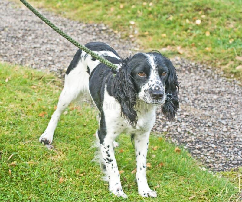 De hond van het spaniel op een lood. royalty-vrije stock foto's