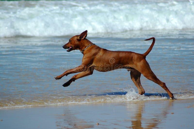 De hond van het strand stock fotografie