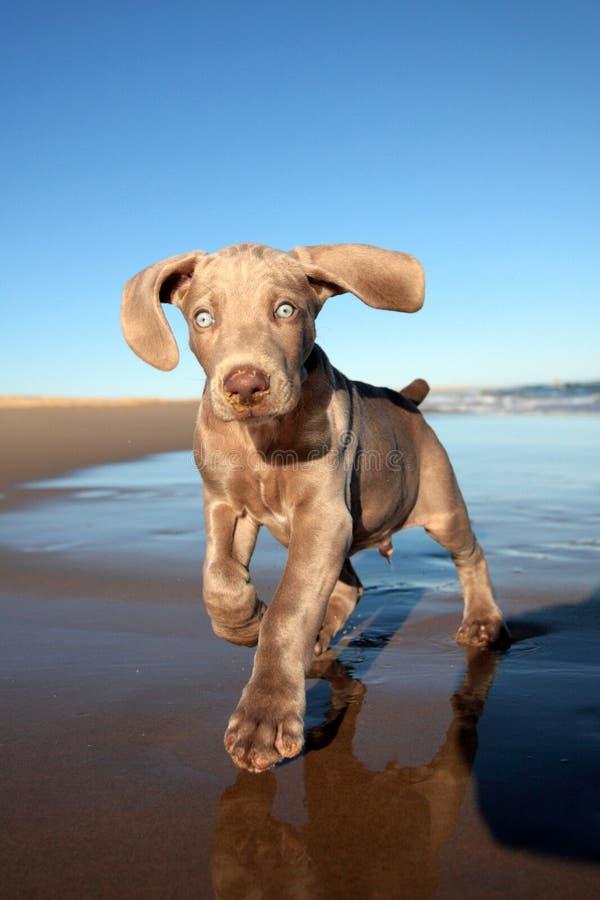 De hond van het Weimaranerpuppy stock afbeeldingen