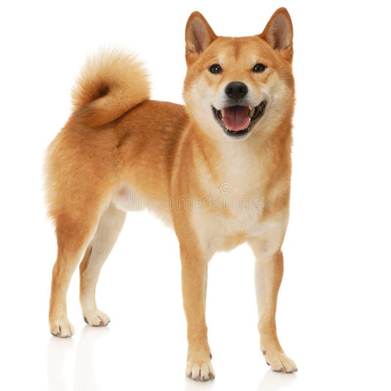 De hond van Inu van Shiba stock foto's