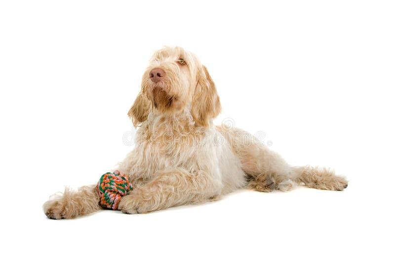 De hond van Italiano van Spinone stock foto