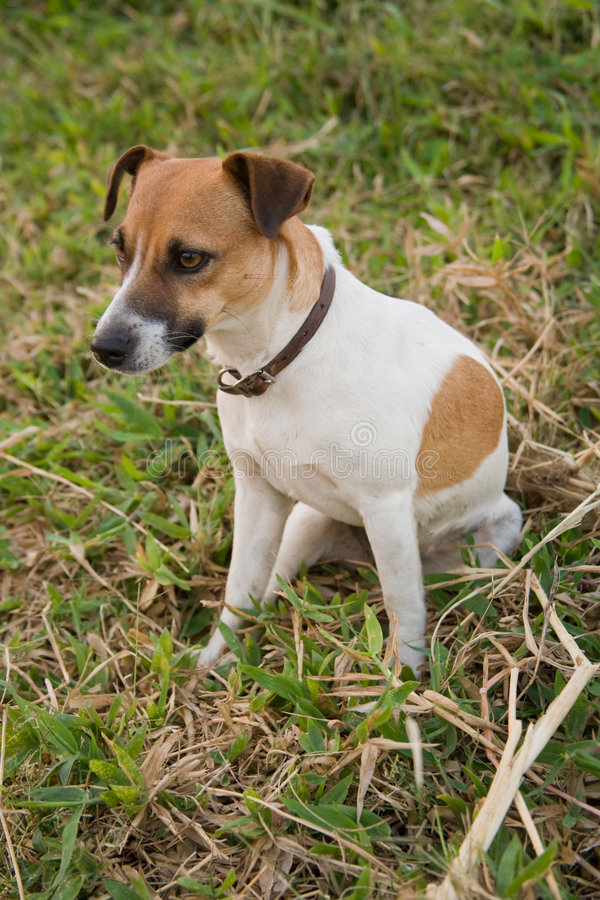De hond van Jack Russell royalty-vrije stock afbeeldingen