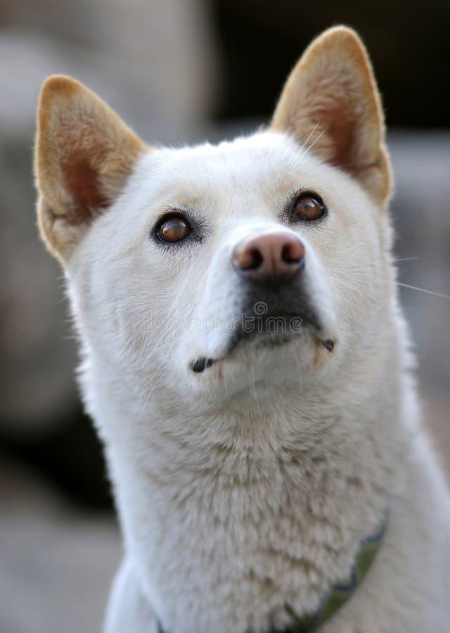 De hond van Jindo stock afbeeldingen