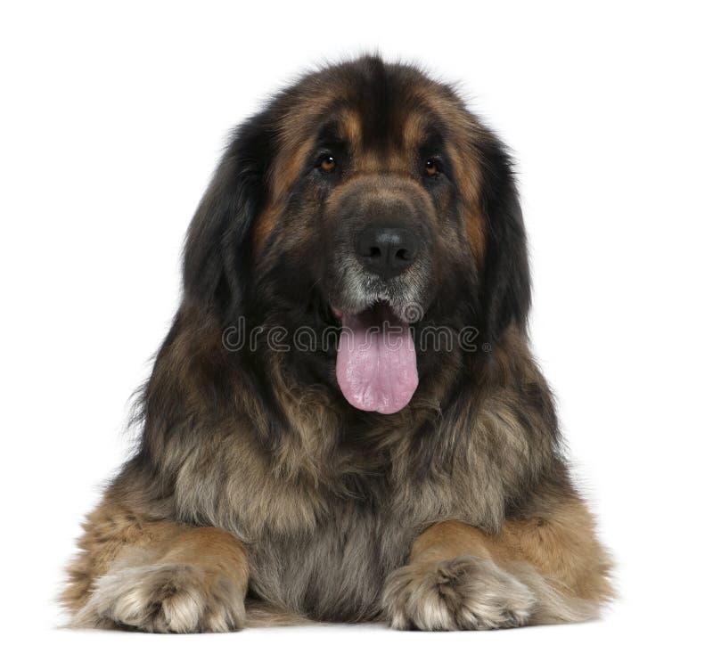 De hond van Leonberger, 5 jaar oud stock afbeelding