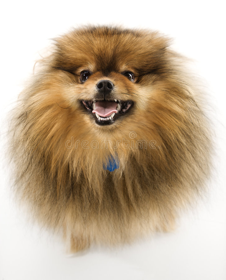 De hond van Pomeranian. royalty-vrije stock afbeelding