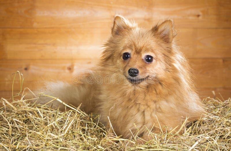 De hond van Pomeranian op een stro royalty-vrije stock afbeelding