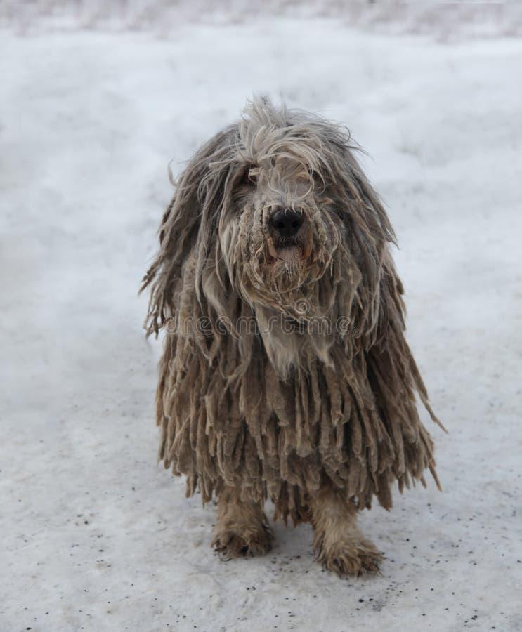 De Hond van Puli royalty-vrije stock foto's
