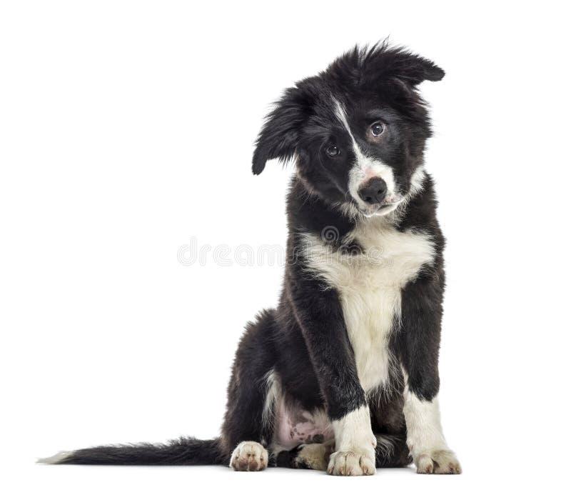 de hond van puppyborder collie, 3 die maanden oud, zitting, op whit wordt geïsoleerd stock foto