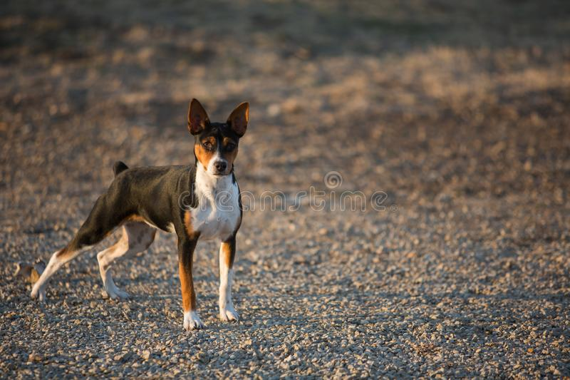 De hond van rattenterrier op grintweg stock foto