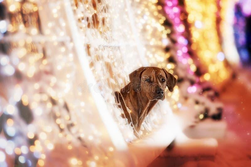 De hond van Rhodesianridgeback in de nachtstad royalty-vrije stock foto's