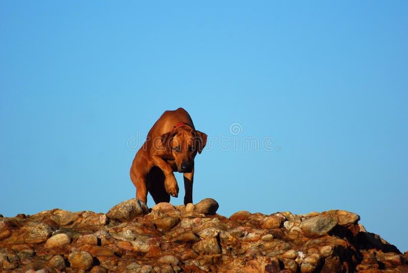 De hond van Rhodesianridgeback op rotsen stock afbeeldingen