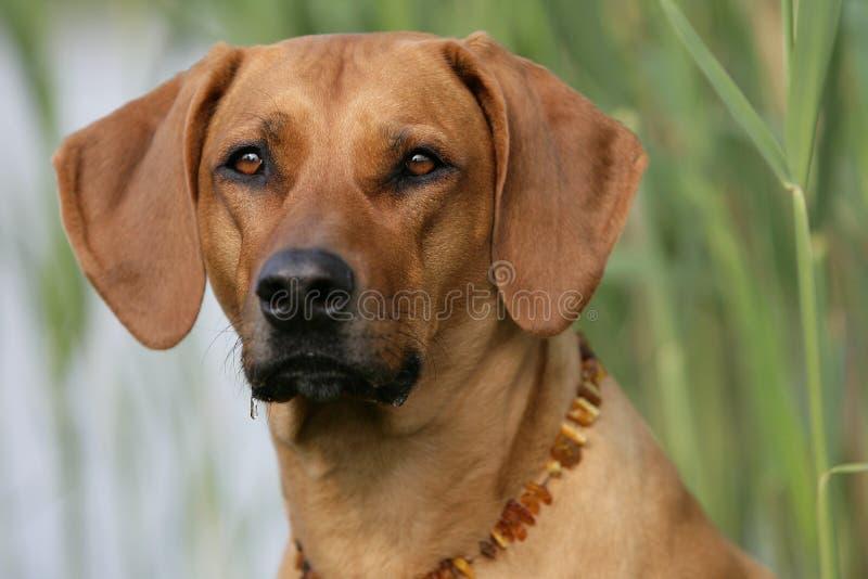 De hond van Ridgeback van Rhodesian stock afbeeldingen