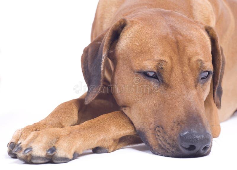 De hond van Ridgeback van Rhodesian, 3 jaar, het dutten royalty-vrije stock afbeeldingen