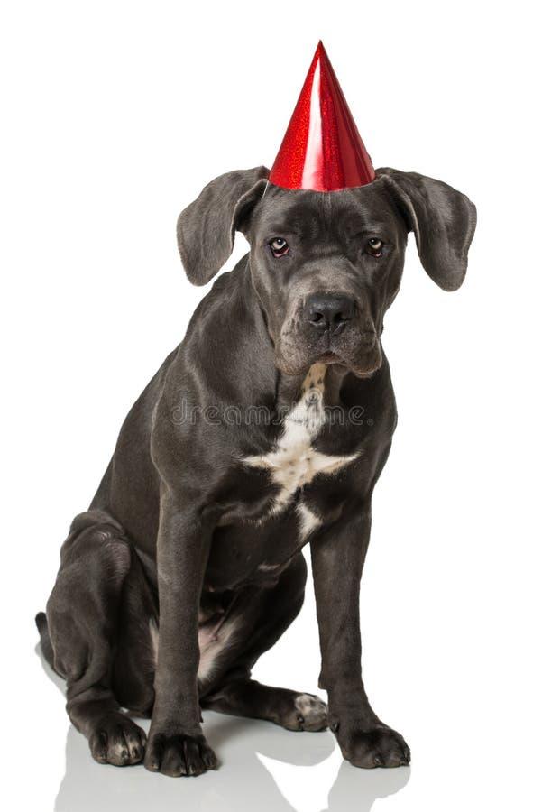 Download De Hond Van Rietcorso Met Hoed Stock Afbeelding - Afbeelding bestaande uit verjaardag, menselijk: 54089661