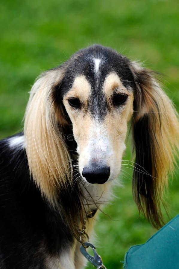 De hond van Saluki stock foto