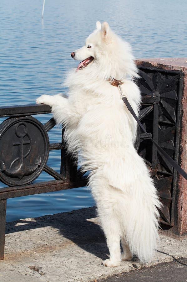 De hond van Samoed stock afbeelding