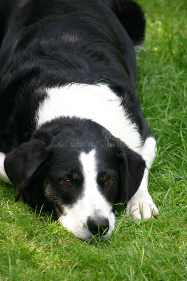 De Hond van schapen royalty-vrije stock afbeeldingen