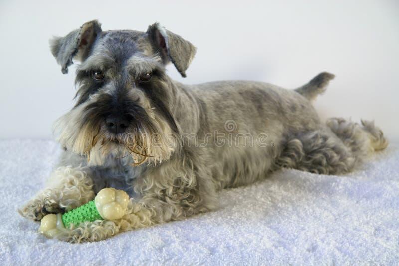 De hond van Schnauzer met stuk speelgoed been royalty-vrije stock afbeeldingen