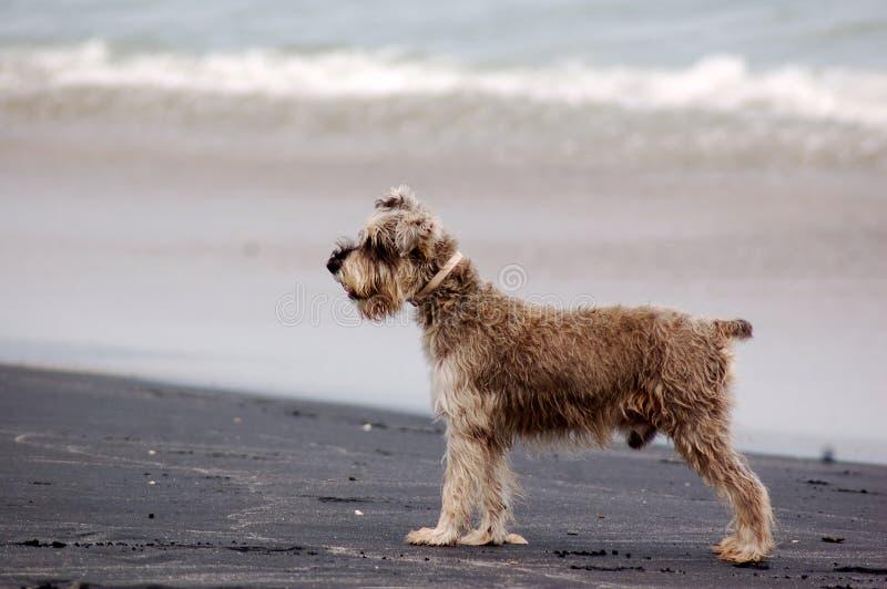 De hond van Schnauzer op strand stock afbeeldingen