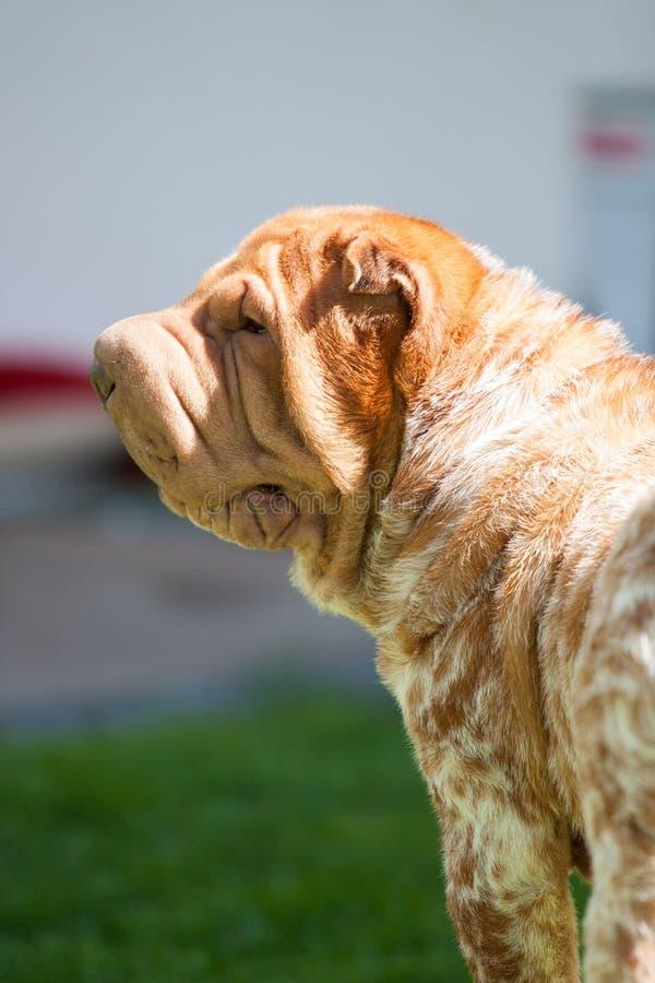 De hond van Sharpei royalty-vrije stock fotografie