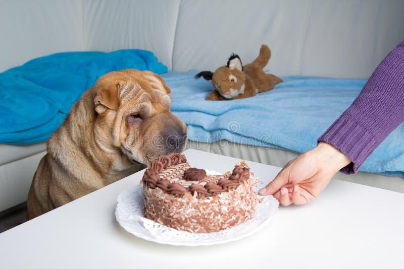 De hond van Sharpei met cake stock foto