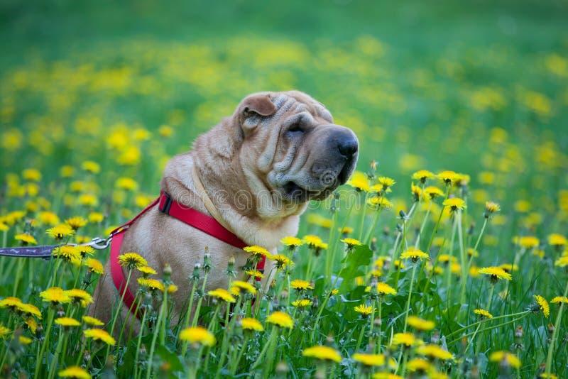De hond van Sharpei met gele bloemen stock foto