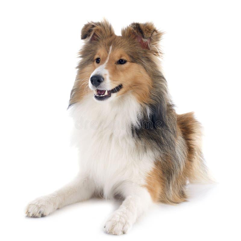Download De hond van Shetland stock foto. Afbeelding bestaande uit honds - 39103552