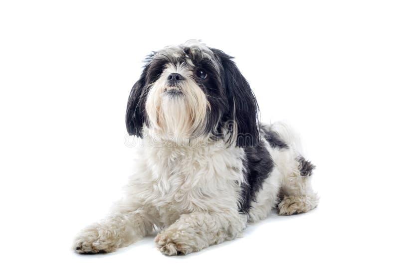 De hond van shih-Tzu stock afbeeldingen